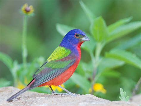 painted bunting the life of animals