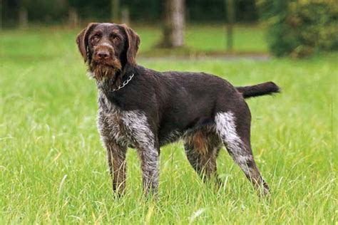 german words for dogs why you should consider german breeds for your next gun gun magazine