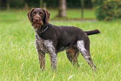 gun dogs why you should consider german breeds for your next gun gun magazine