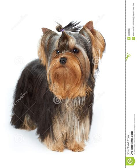yorkie top knot yorkie with stylish top knot stock image image 55368627
