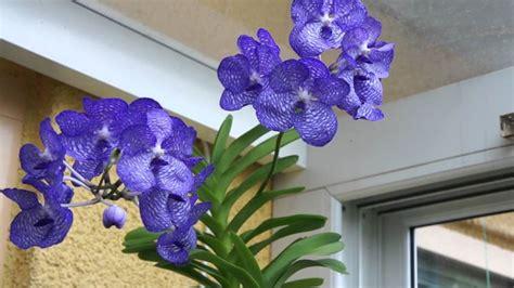 come curare orchidea in vaso curare orchidea vanda orchidee coltivare orchidea vanda