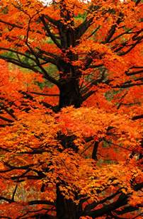 tree orange leaves autumn beauty nature