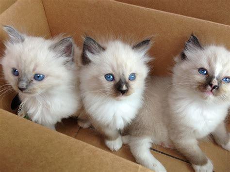ragdoll cats for sale 20 best of ragdoll kittens for sale near me