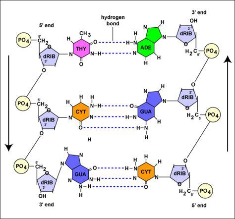 dna molecule diagram molecular genetics review