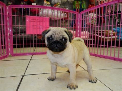 pug puppies atlanta ga gorgeous fawn pug puppies for sale near atlanta ga at atlanta columbus johns creek