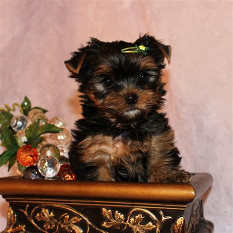cheap teacup yorkie puppies for sale cheap teacup puppies for sale uk