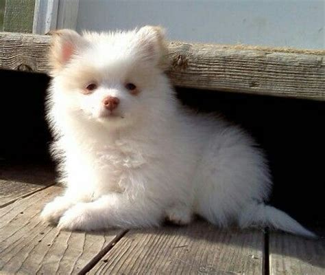 teacup pomeranian puppies for sale in chennai 69 best images about pomerianen keeshond on dogs for sale i want and