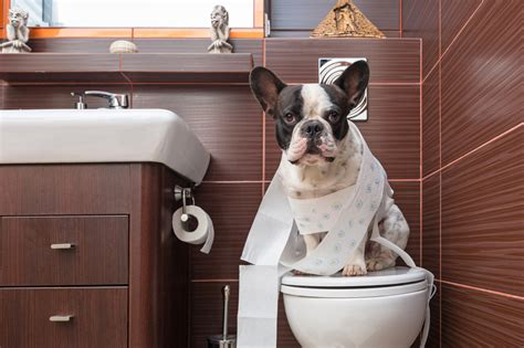 house training my dog housetraining an adult dog potty training for the