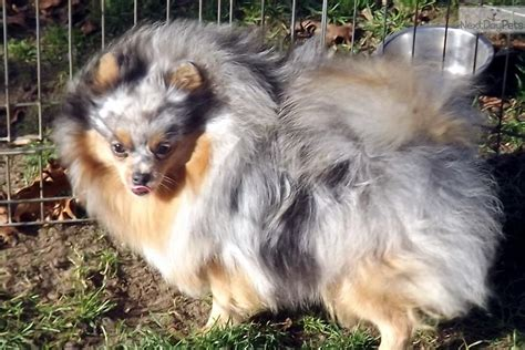 merle pomeranians for sale pin blue merle pomeranian for sale in toronto ontario classifieds m5x on