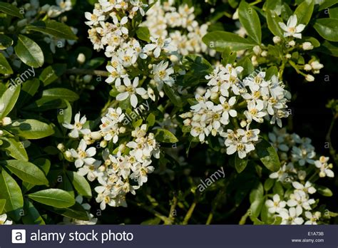 highly fragrant plants mexican or mock orange choisya ternata flowering shrub