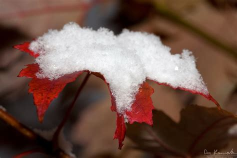 snow on maple leaves cooke the universe as i see it 187 general