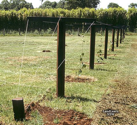 Kiwi Fruit Trellis kiwi fruit trellis system flickr photo