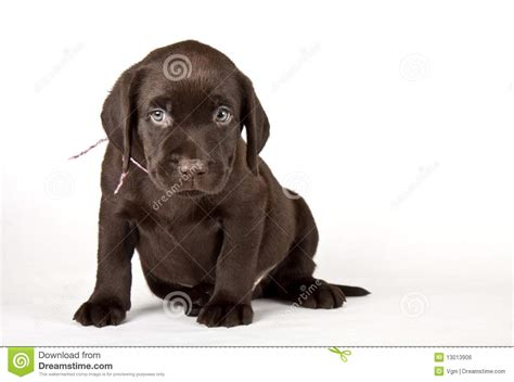 free chocolate lab puppies black and white labrador retriever breeds picture