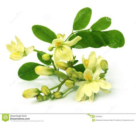 fiore commestibile fiore commestibile di moringa fotografia stock immagine