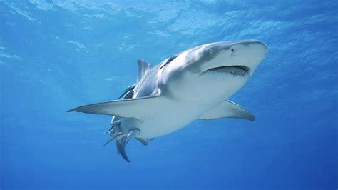 imagenes de tiburones wallpaper haaien achtergronden hd wallpapers