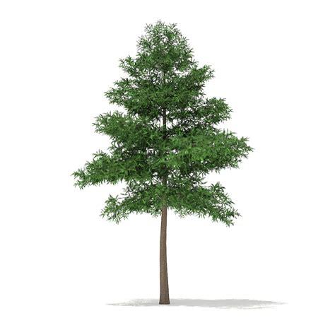 The Pine Tree scots pine tree pinus sylvestris 9 4m