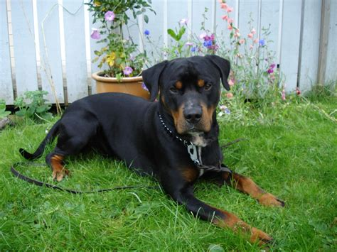 rottweiler x rottweiler 1600x1200 wallpapers rottweiler 1600x1200 wallpapers pictures free