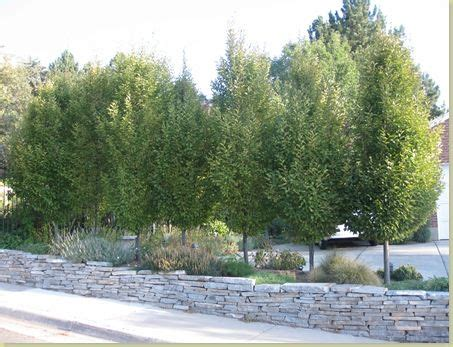 the best privacy trees what to plant if you see to much of your neighbors yard here is a
