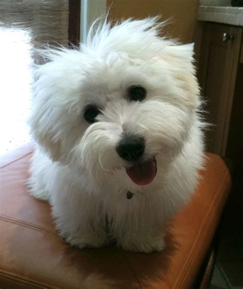 cotton puppy pictures of coton de tulear breed i m going to get harry groomed just like this