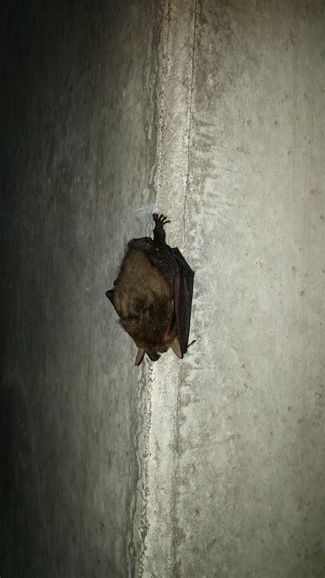 vleermuis in huis overlast van vleermuizen voorkomen