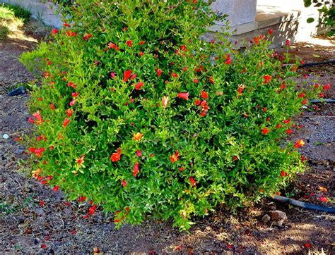 arbustos de jardin con flor arbustos de jardin con flor latest bush de la hortensia