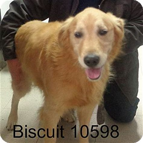 dogs for adoption in md baltimore md golden retriever meet biscuit a for adoption