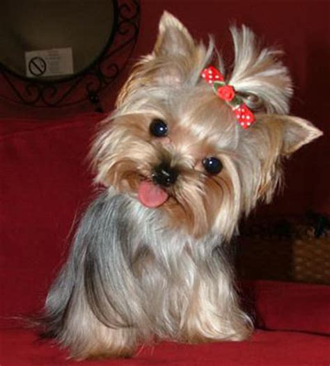 yorkie screensavers yorkie puppy screensavers breeds picture