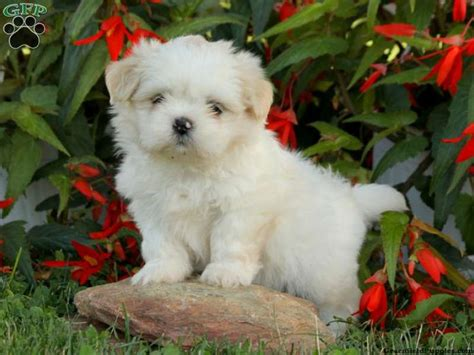shih tzu puppies pennsylvania 17 best images about loving designer puppies for sale on morkie puppies