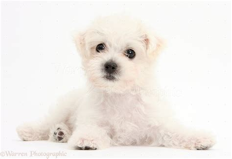 white puppy white bichon x yorkie puppy photo wp38681