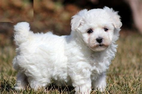 real puppys for sale pet unicorns for sale that are real handsome bichon frise puppies for sale dogs