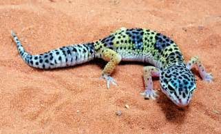 leopard geckos salman s pets