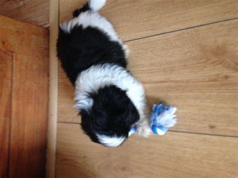 white shih tzu puppies for sale 1 black and white shih tzu puppy birmingham west