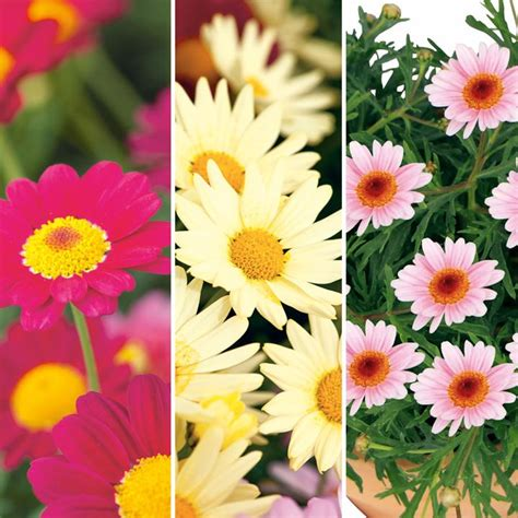 pretty plants argyranthemum plants pretty daisies collection all
