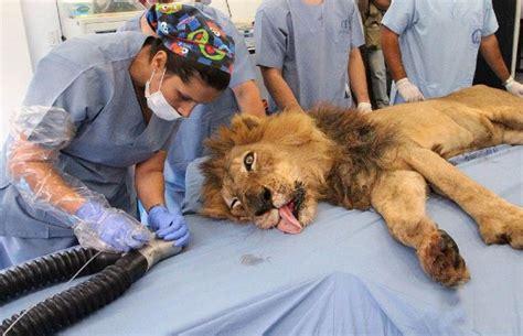 Singa Sombong Sakit Gigi ketika harimau singa sakit gigi