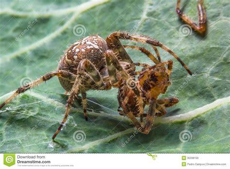 Garden Spider Behavior by Spider Stock Photo Image 35338150