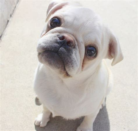 chines pug best 25 pug ideas on haired bulldog corgi bulldog