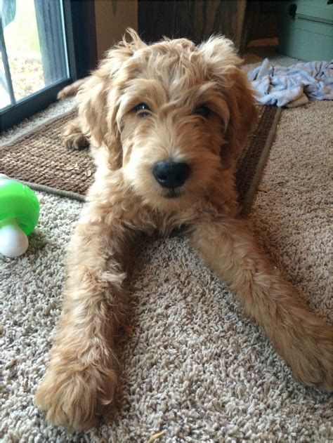 goldendoodle mini a vendre chewy wilson creek kennels f1 goldendoodle wilson