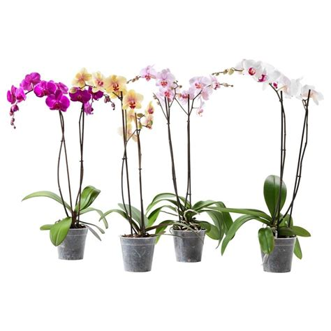 come curare l orchidea in vaso come curare le orchidee piante appartamento curare le