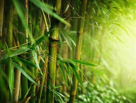 ecoplanet bamboo aims   alternative timber big