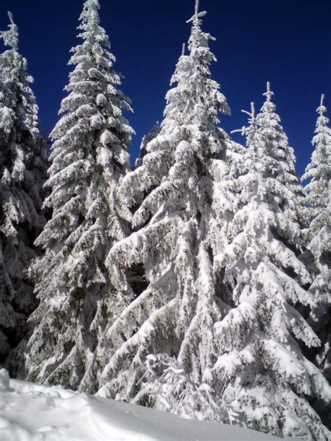 snowy fir trees by lucyfera on deviantart