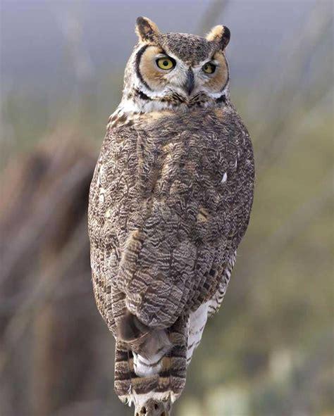 great horned owl audubon field guide