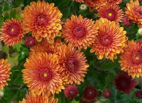 mums flowers garden mums salient landscaping snow removal fall clean up ann arbor michigan