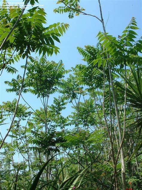 pongallyam pongalyam p po ailanthustree  heaven