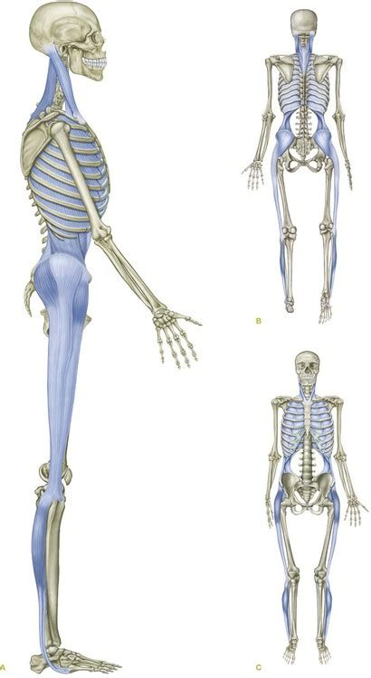 cadenas musculares thomas myers pdf the lateral line basicmedical key