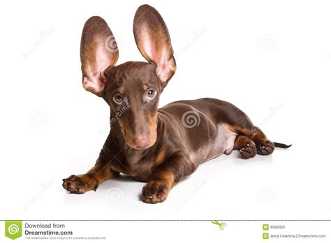 dachshund puppies idaho dachshund puppy stock photos image 6590463