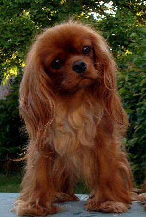 Cocker Spaniel Shedding Hair by This Cavalier King Charles Spaniel Is The Of Pet That