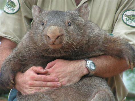 imagenes de animal wombat why do wombats do cube shaped poo