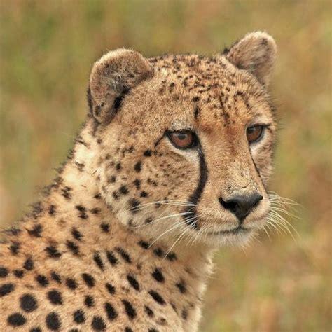 191 hay algo mas rapido que un guepardo liverpool es parte de mi vida 191 qu 233 velocidad alcanza un guepardo