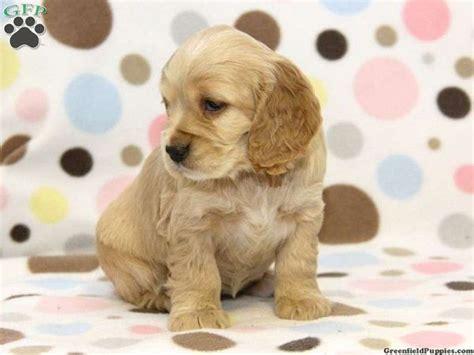 cocker spaniel mix puppies for sale cocker spaniel maltese mix puppies for sale zoe fans pets for
