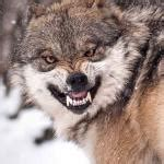 Angry Wolf Meme Generator - angry wolf imgflip